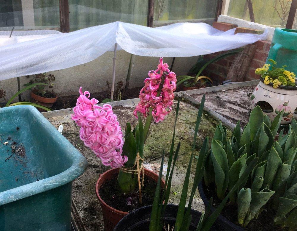 hyacinth taking a bit of a lean