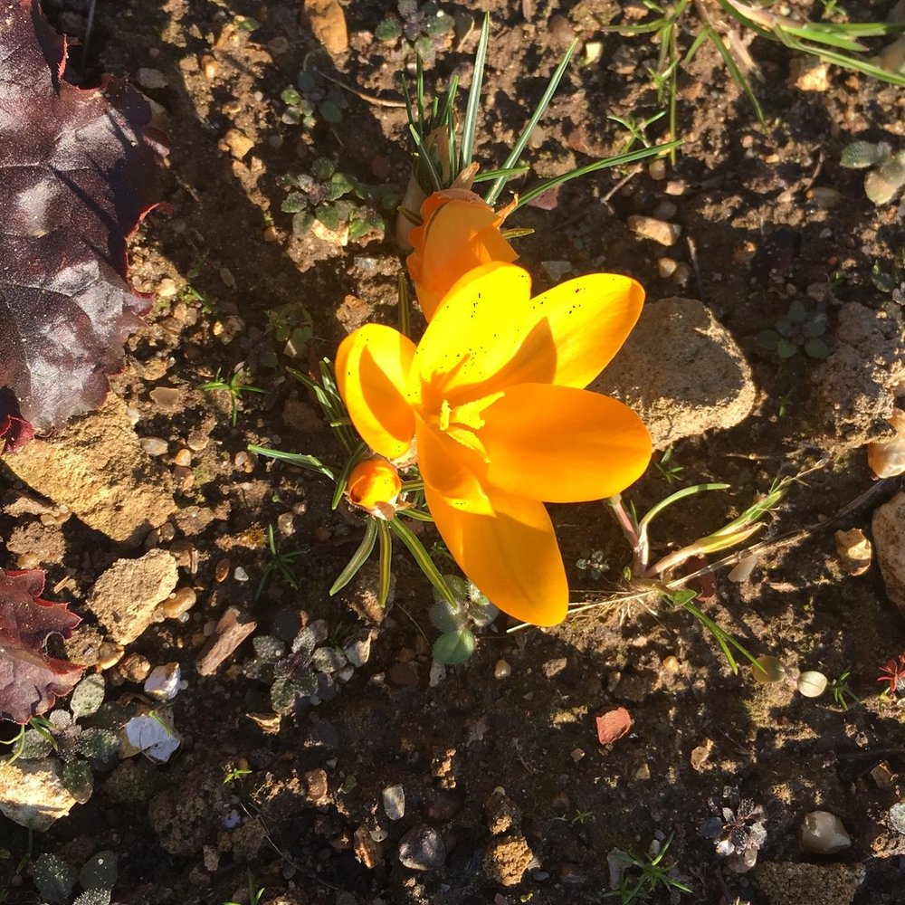 Of course there had to be a yellow crocus