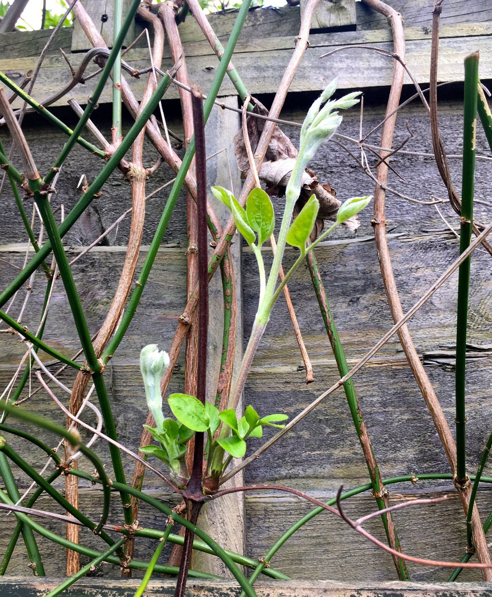 new growth on my clematis