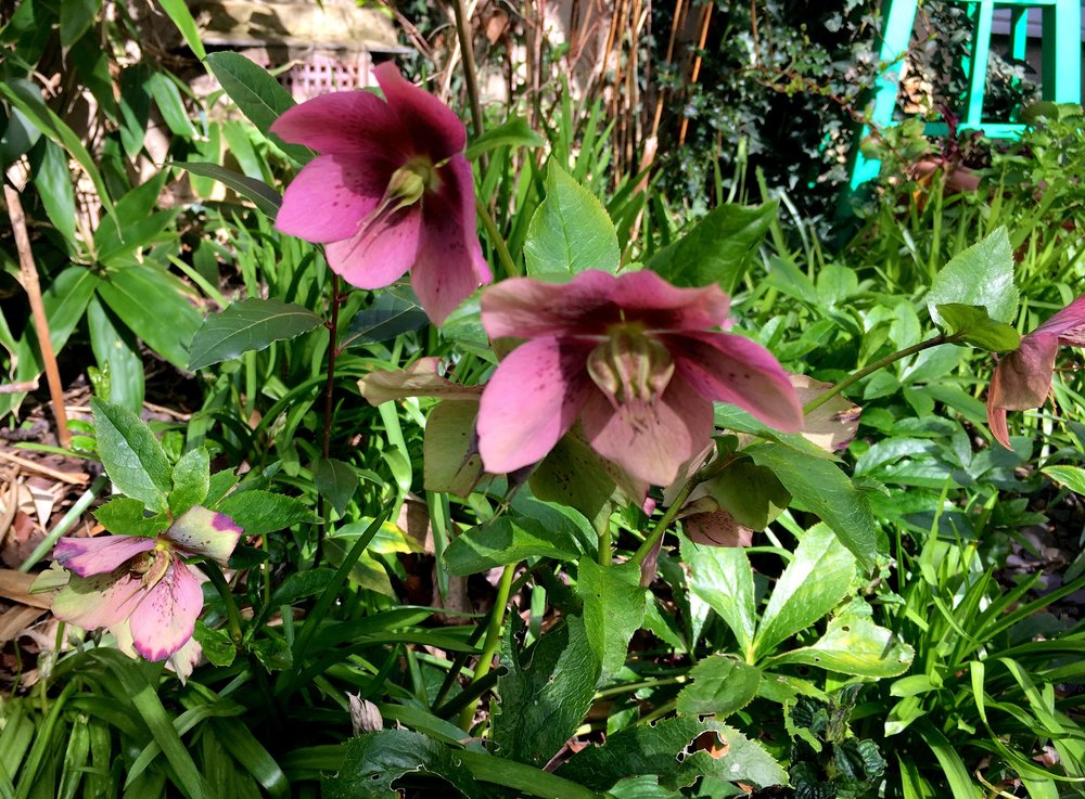 hellebores at the end of the garden