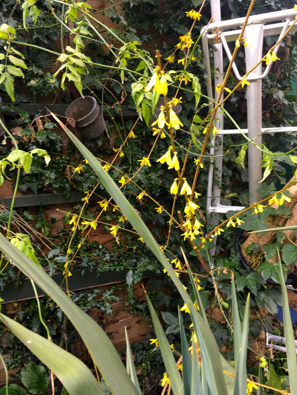 forsythia, a ladder and the spikiest of spiky plants
