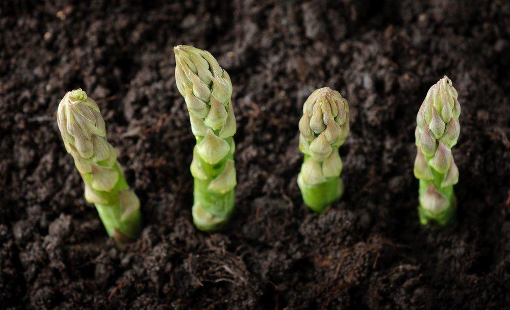 L'asperge verte qui a fait toute sa croissance à la lumière est fine, gouteuse mais avec un goût plus accentué et sauvage que l'asperge blanche.  Bordeaux Farm débute ce printemps avec des belles variétés en partenariat avec AMS EUROPEAN.