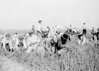 Chicago Onion Farm, ca. 1900 Courtesy of Chicago History Museum