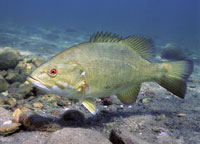 Smallmouth Bass  Courtesy of US Fish and Wildlife Digital Library Service