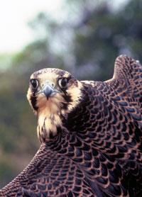 Peregrine Falcon  Courtesy of US Fish and Wildlife Digital Library Service
