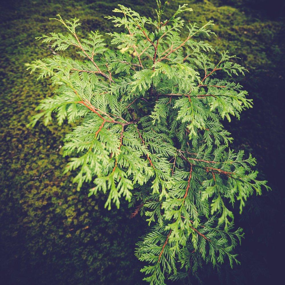 Cedar.JPG