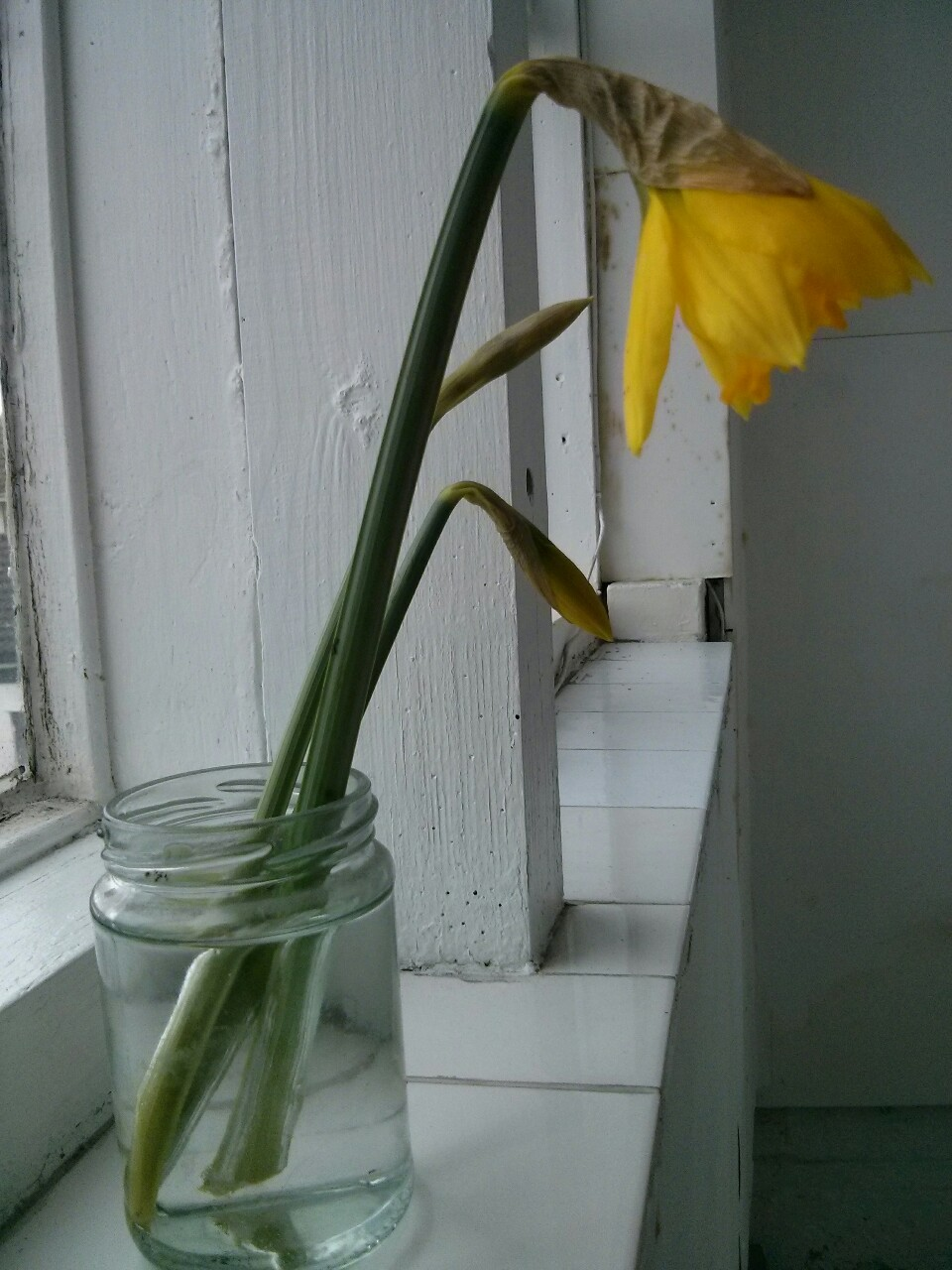 Picked from the allotment this lunchtime; the first daffodil. A bit early, but spring is on the way!