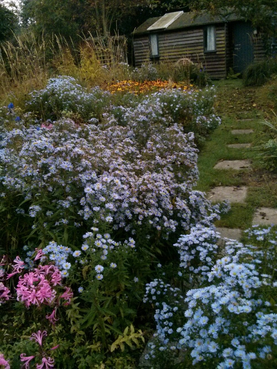 A few days away and the garden seems to have filled with Michaelmas daisies.
