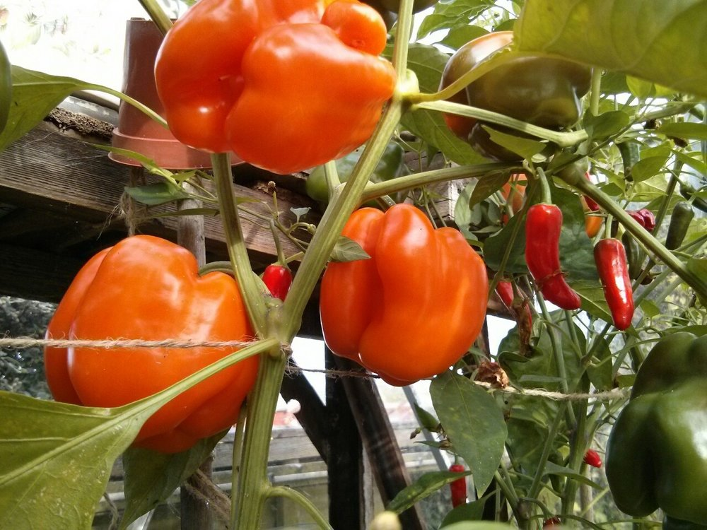 A good crop of peppers and chillies ripening in the greenhouse.