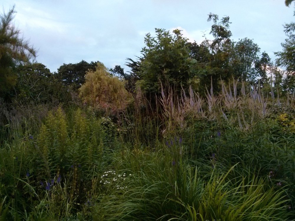 More University of Essex artist-in-residence posts soon; in the meantime a photo of the garden late this evening. The pale mauve veronicastrums, one of our favourites, are in flower and make a good combination with the purpley heads of the Calamagrostis Karl Foerster as they begin to open. It's all looking beautifully full on at the moment.