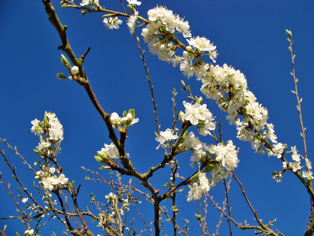 Just back from a day in London and the plum blossom is looking great in the evening sunlight; reminded me of that van Gogh painting of blossom on a pale blue ground.