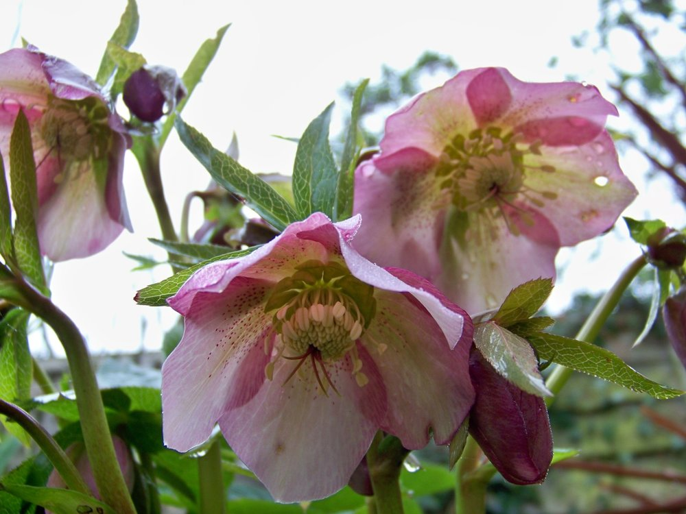 Hellebores in the garden this morning; a damp, cool and foggy morning with more cold weather forecast for next week.