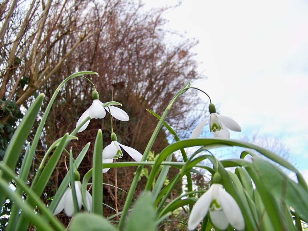 25th February 2012. Still clearing up in the garden. The snowdrops are looking good at the moment.