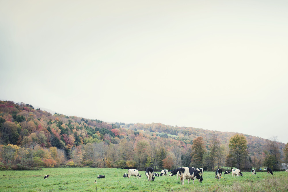 cows. catskills. music.