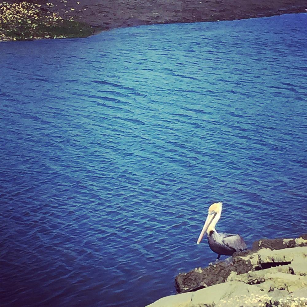 Lone Pelican - Shem Creek, Charleston SC