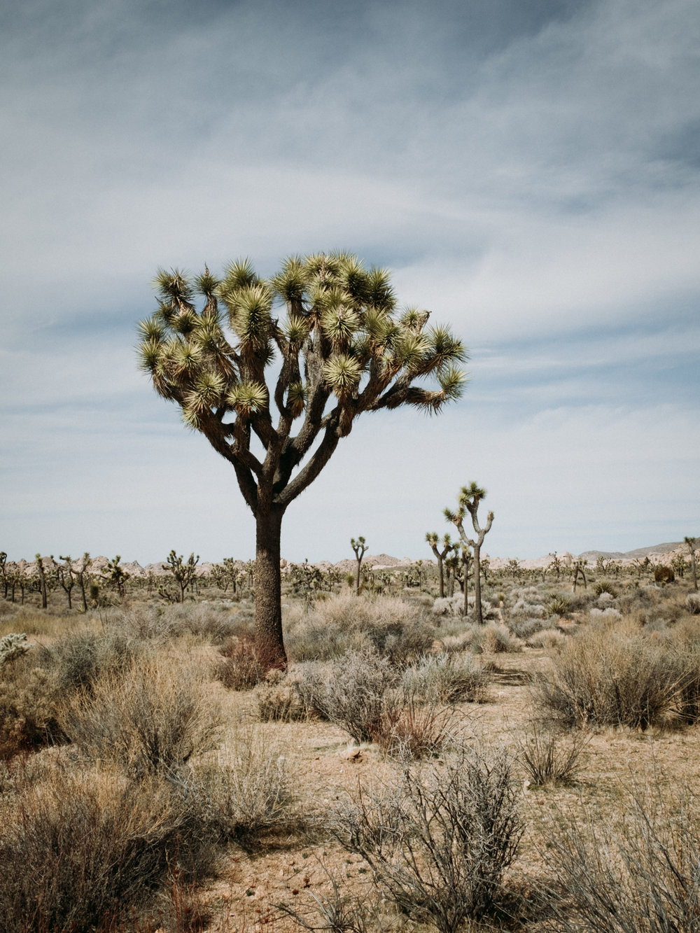 Joshua Trees in Joshua Tree National Park // image credit -  Sarah Dickenson
