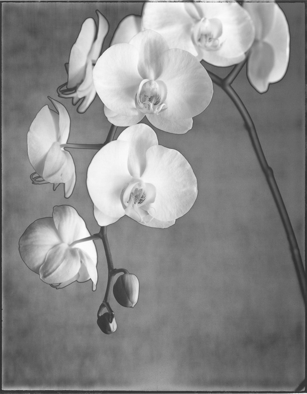 Orchid Phaleanopsis
