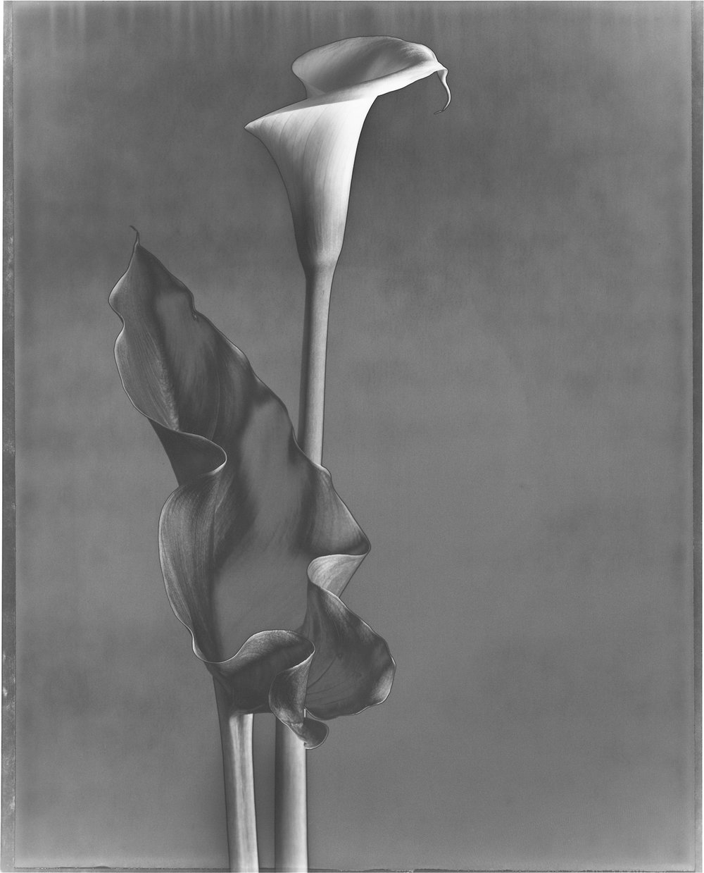 Calla and Leaf 1