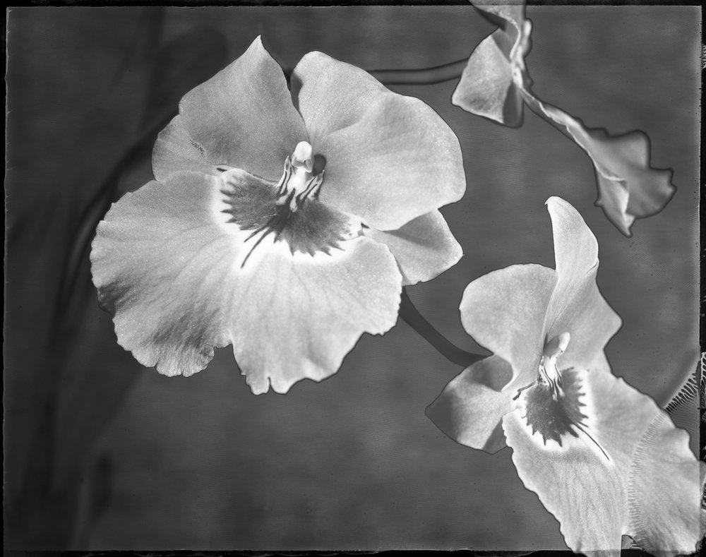 Orchid Miltonia Desire