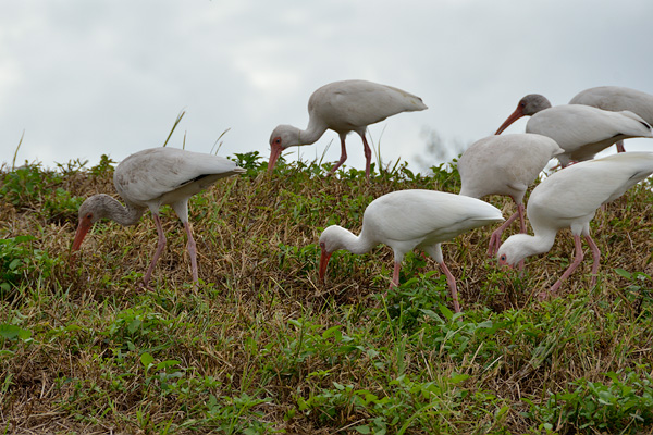 Winters in Florida are a wonderful time to see birds.  This flock of Ibis was foraging right along the roadway to AKNC.