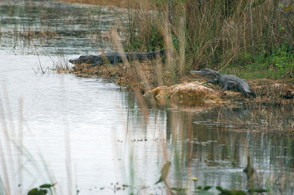 Big alligators are popular attractions at Everglades National Park (ENP)