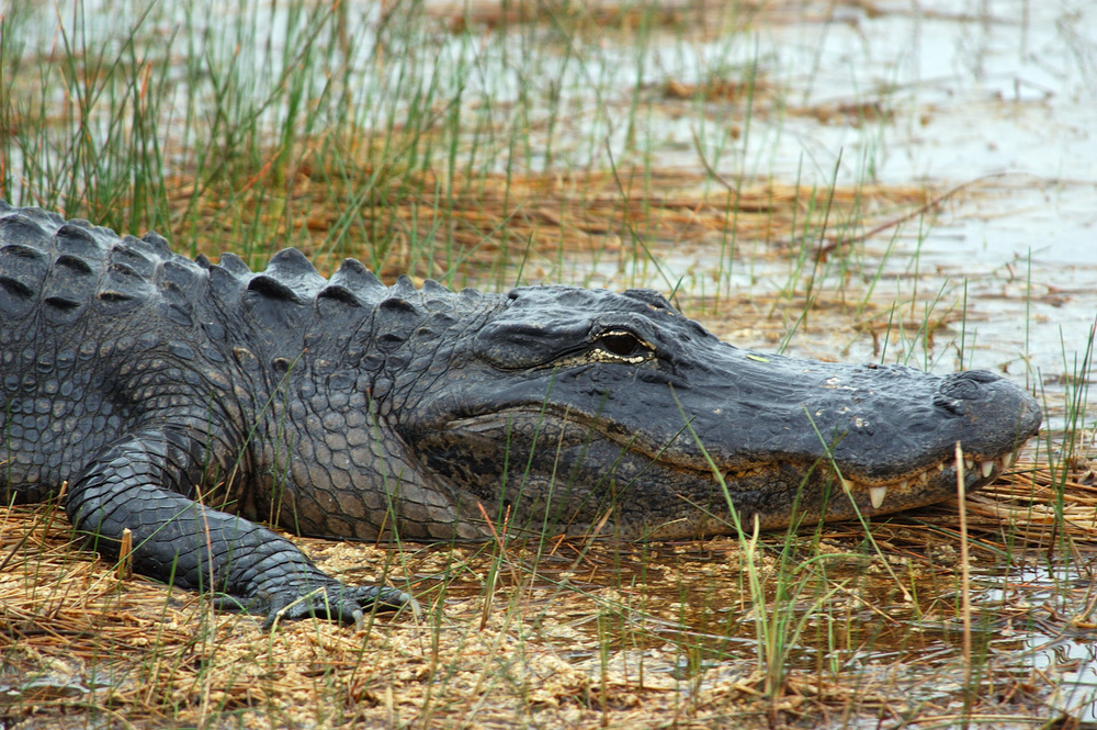 An alligator ready for his close up (Jeff used a long lens, I don't recommend getting this close!) at ENP