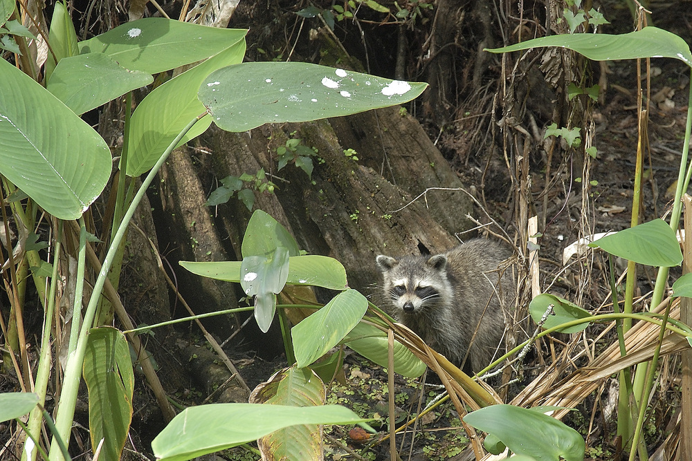 I've noticed that the raccoon are more active during the day in the natural areas in Florida than in other parts of the country.