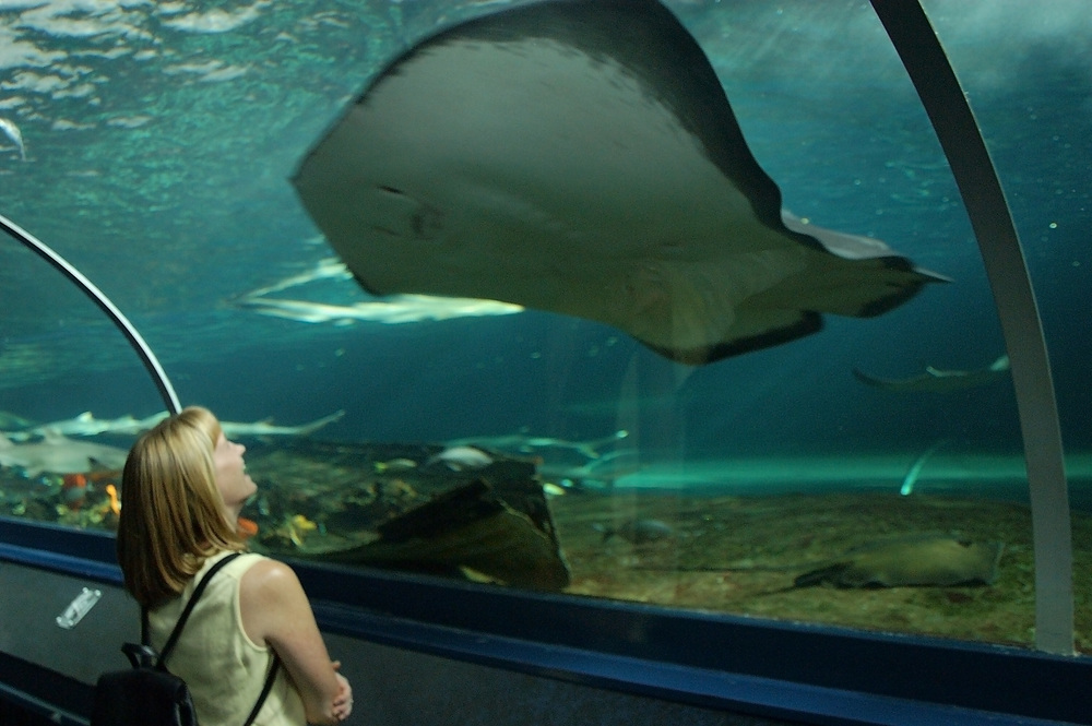 A huge ray in the Shark and Ray tank