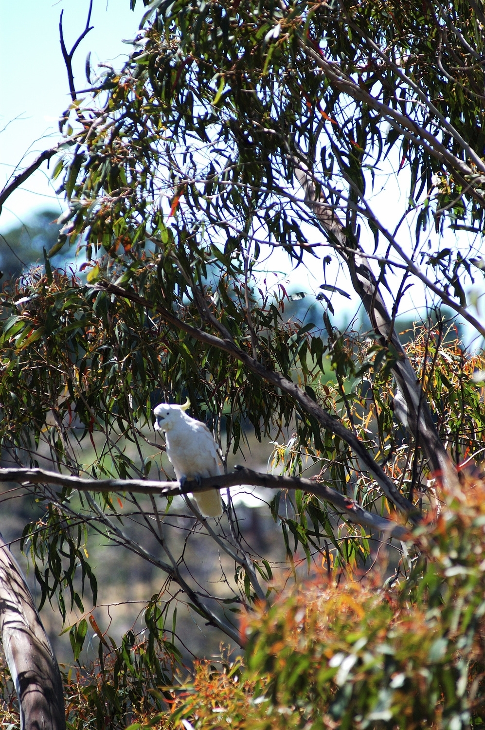A cockatiel in a eucalyptus tree