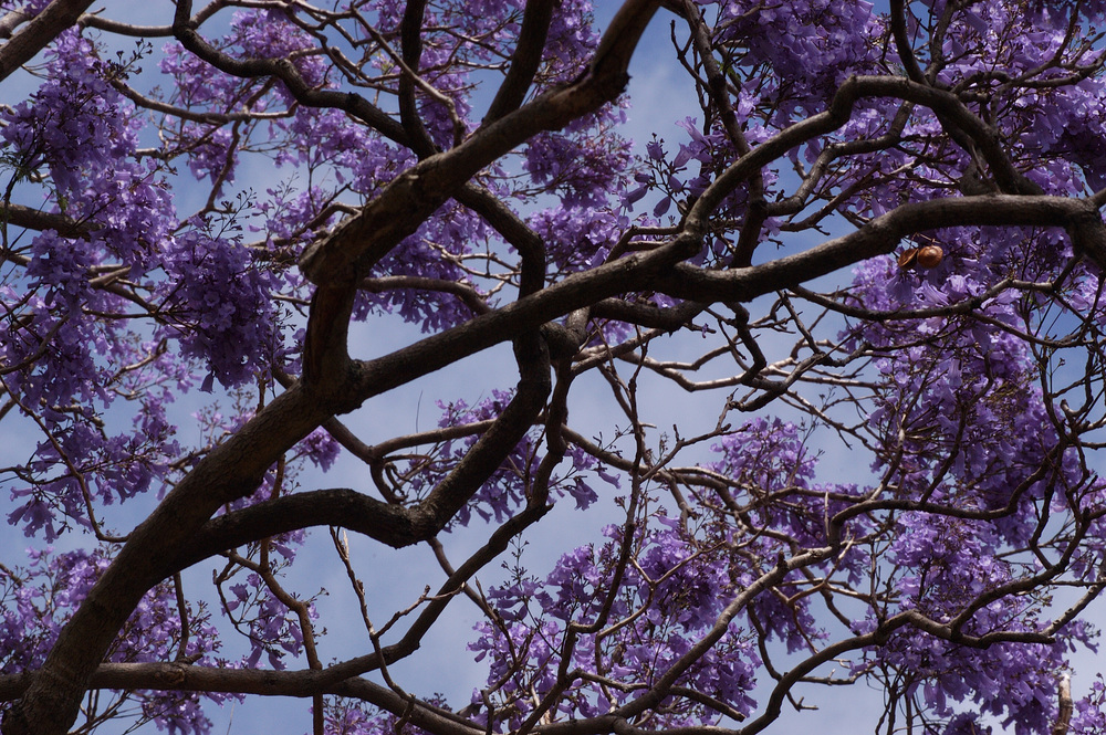 Beautiful jacaranda trees were in bloom when we visited.
