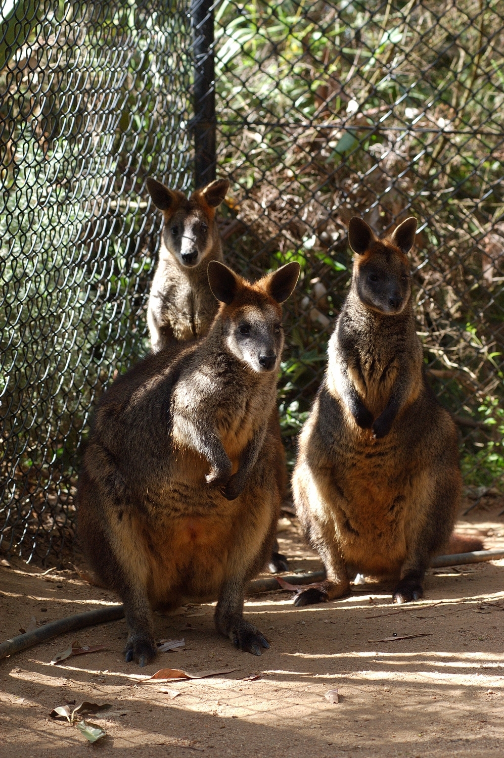 These little wallabies were not only not threatening, they seemed a little shy standing in their corner.
