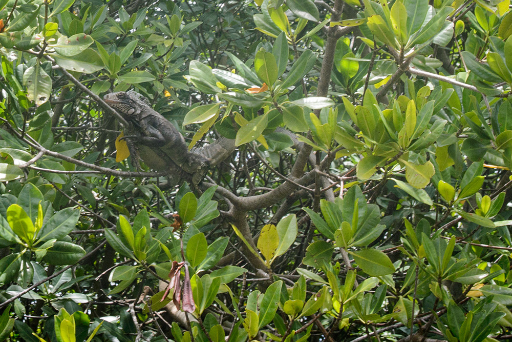 An iguana living in the mangroves
