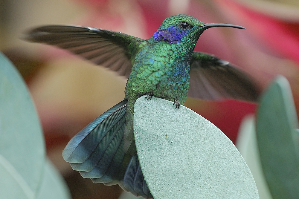 There were several areas of hummingbird gardens and feeders.  The diversity of hummingbirds in Costa Rica is amazing!