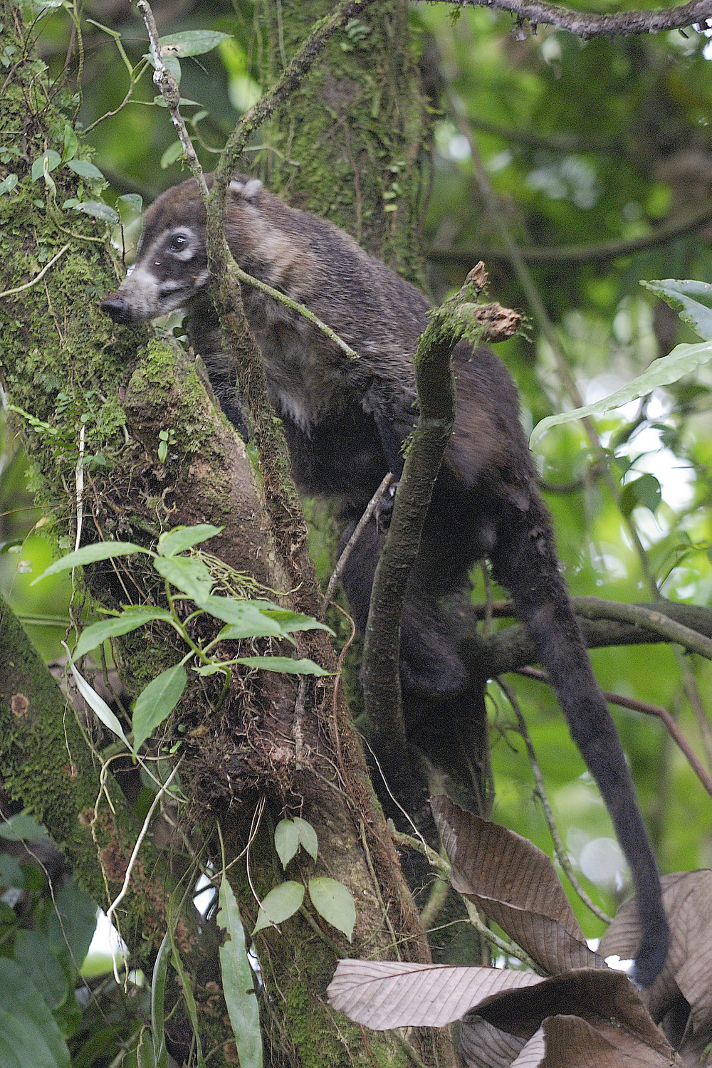 A wild coati we glimpsed near the trail, quite habituated to humans, La Paz was a great place for people with less mobility or young children to spot wildlife, and learn what to look for in wilder settings.