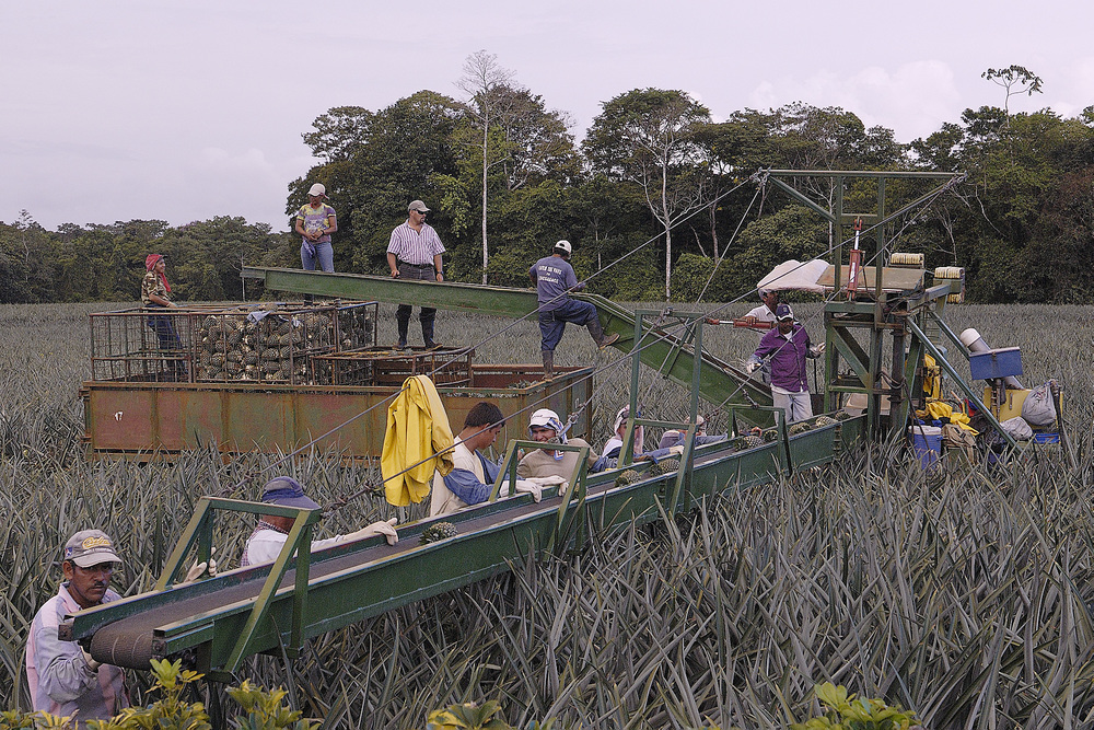 Harvesting pineapples in the field;  a motorized conveyor belt rolls through the field and workers pick the ripe fruit and it makes it way to the truck