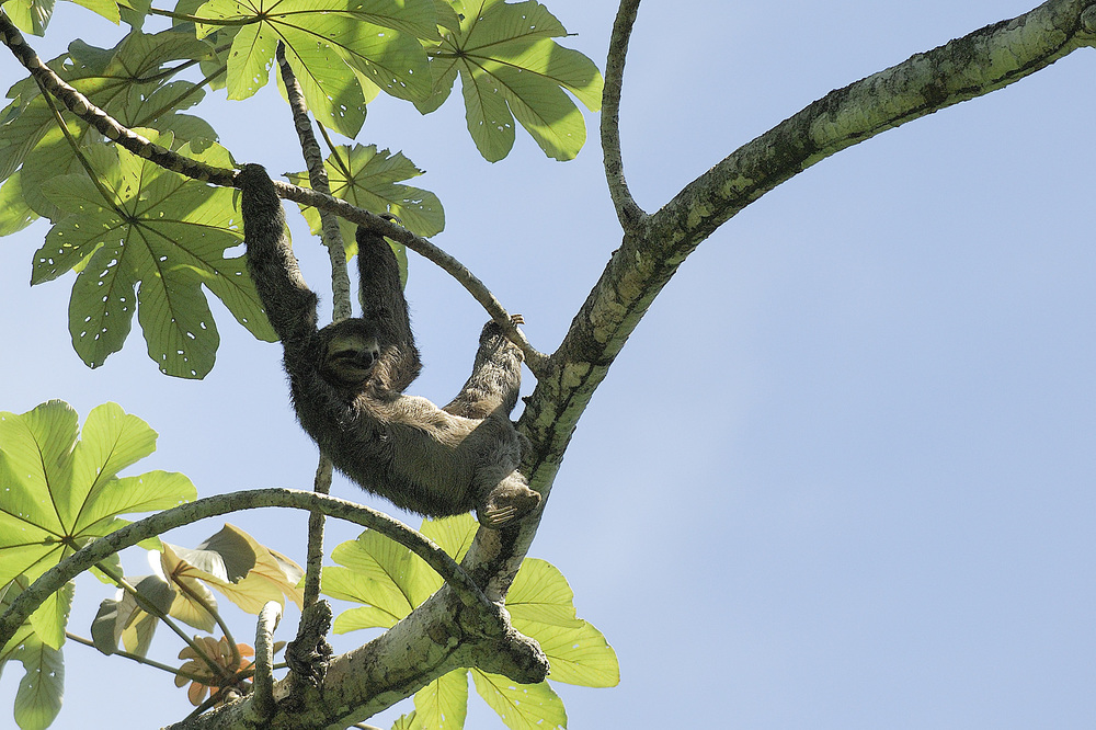"Sloths were easily visible in the trees in Manual Antonio Park. And they don't ""run away"" because they move so slowly!  With algae growing on them and the sun shining down, they often just appear to look like ""clumps of leaves"" in the shadows at the tops of trees."