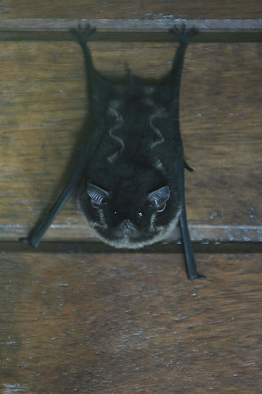 One of the icons of scary on Halloween is the bat. This tiny bat in Costa Rica and his brethren were sleeping the day away on the wall of our eco lodge.  Lots of people find bats terrifying, but I think he's pretty cute, and most of them eat the bugs that are really scary!!