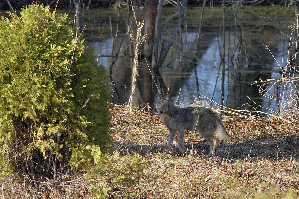 We didn't even need to go far to see this scary site...a coyote in our back yard! They sound scary when they howl at night, but when we howl back, they run off every time!
