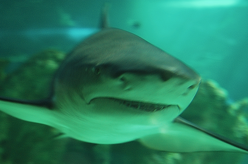 As was this huge great white in the Sydney Aquarium, Sydney Australia