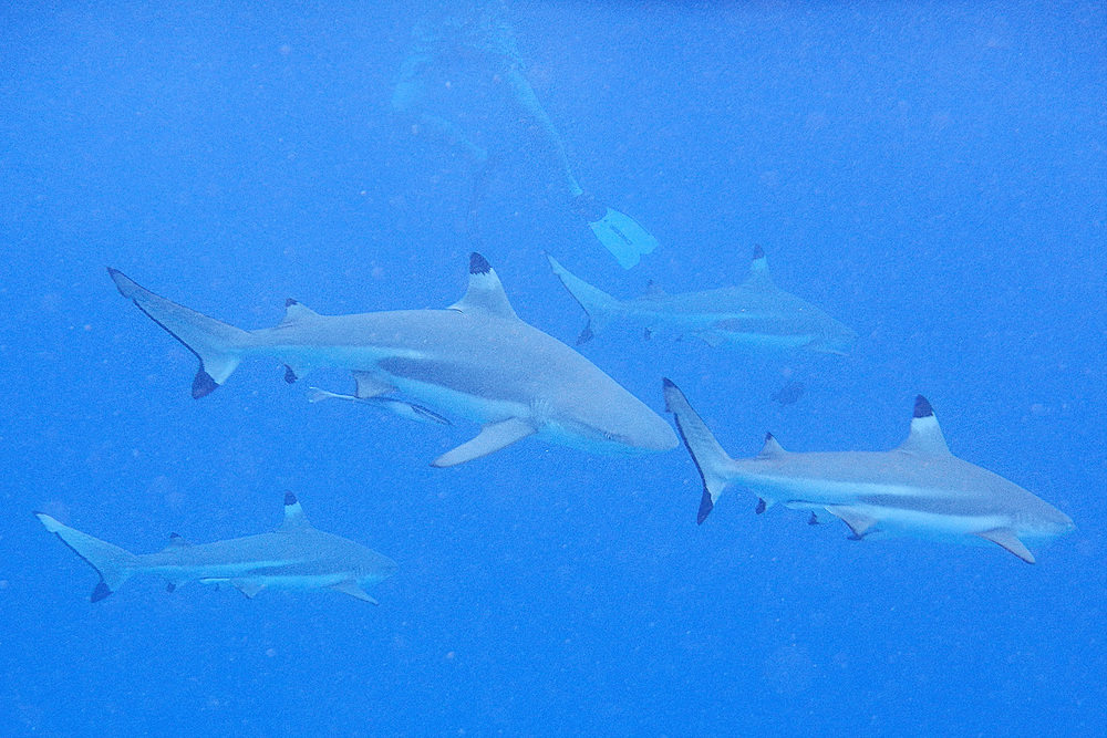 However there was no glass between us and these black finned sharks in Bora Bora...just a bit more scary! But we were advised by our local guide that they only eat dead things, so we should just keep swimming!