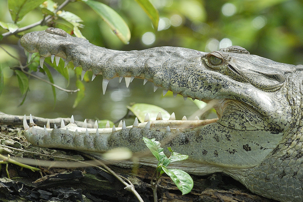 Even more teeth!! a 15 foot croc in Tortuguero National Park in Costa Rica