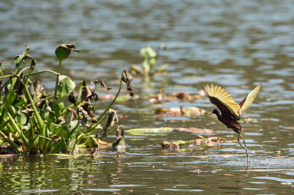 Northern Jacana with it's delicate legs appears to walk on the water balancing on the plants.