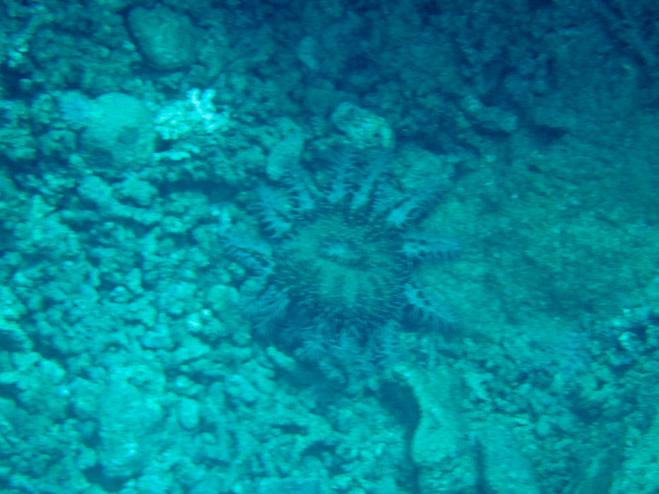 a twelve legged sea star