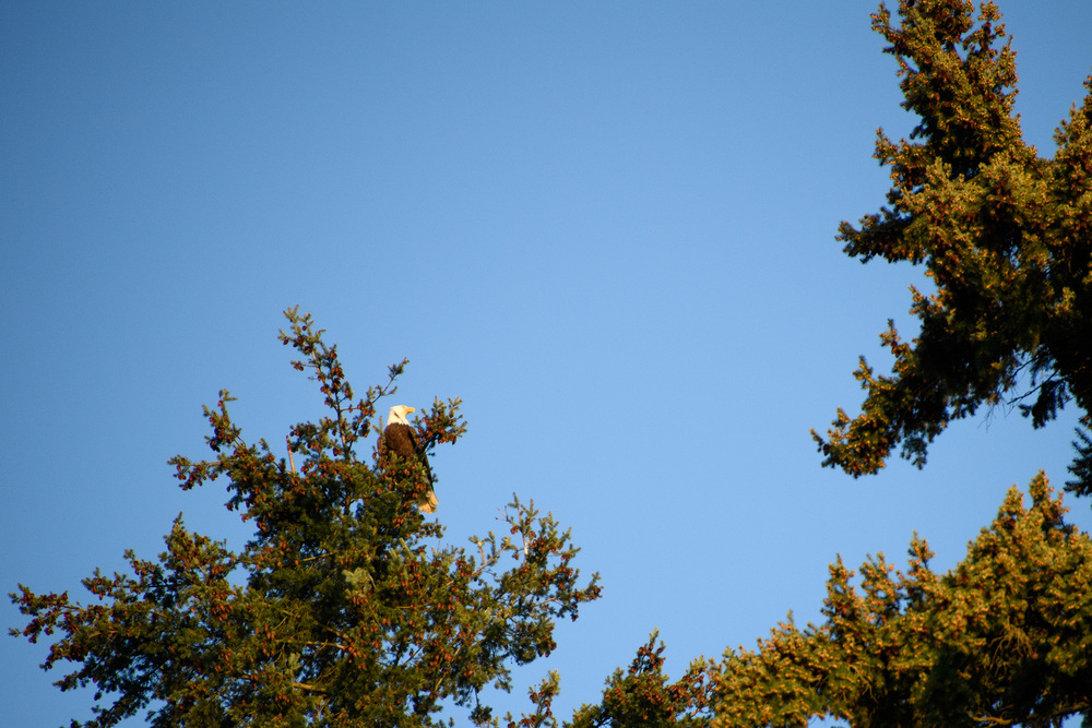 A bald eagle in a pine high above Lake Washington