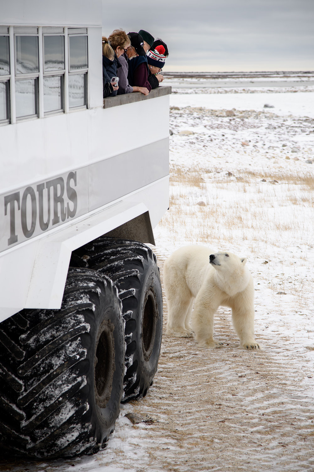 The Polar Rovers used by The Great White Bear Company to take small groups out into the Wapusk National Park allow visitors to observe bears from outdoor raised decks on the rear of the vehicle.