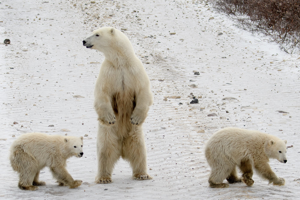The mother stood on hind legs to spot and smell where the male was behind her.