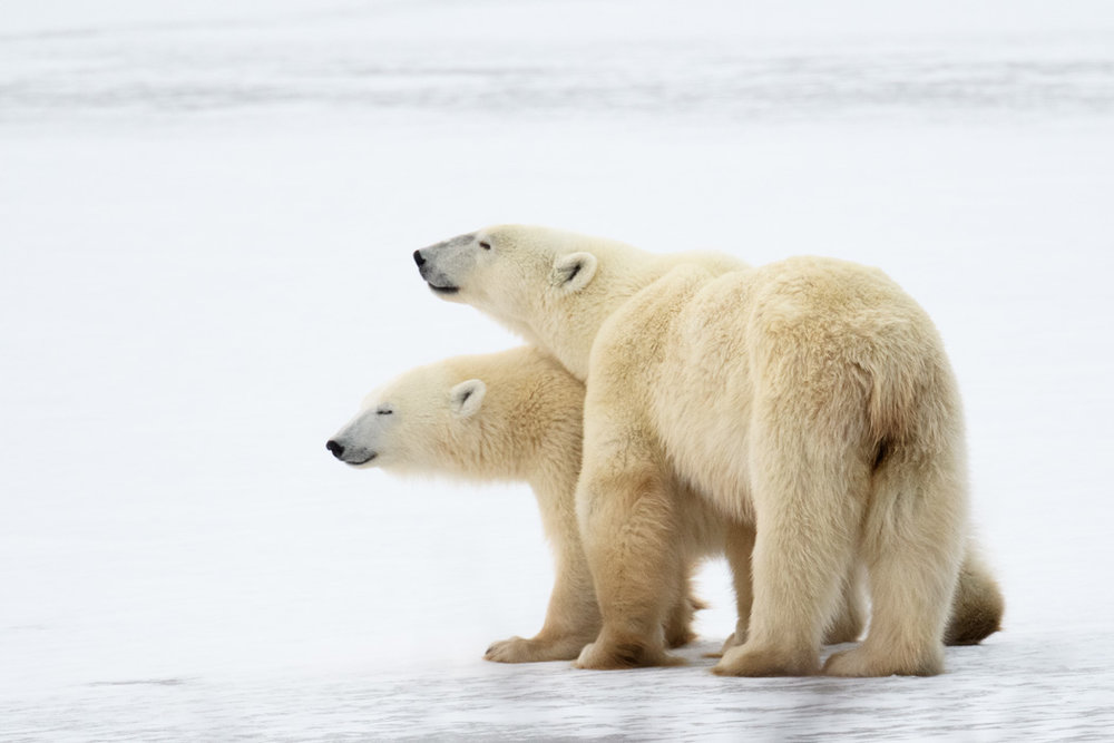 After using all the energy to explore, the cubs rested on the ice.