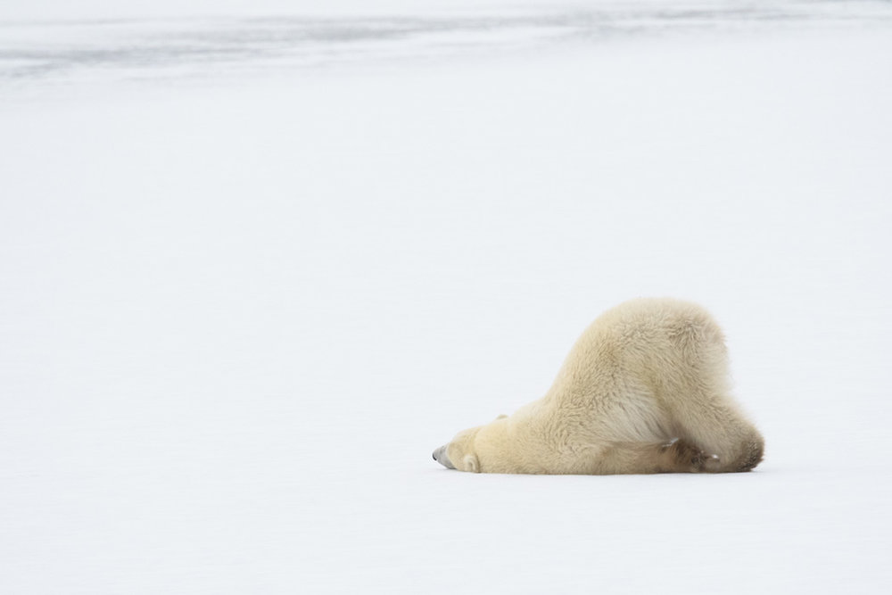 The brave cub cooling down on the ice after their long walk!