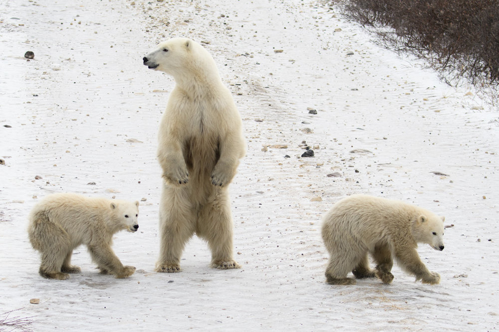 A mother bear on the run with her cubs from a big male bear in Wapusk National Park in Canada