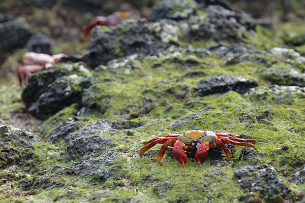 Time for a bucket list trip?  The Sally Lightfoot crab welcomes visitors to the Galapagos Islands